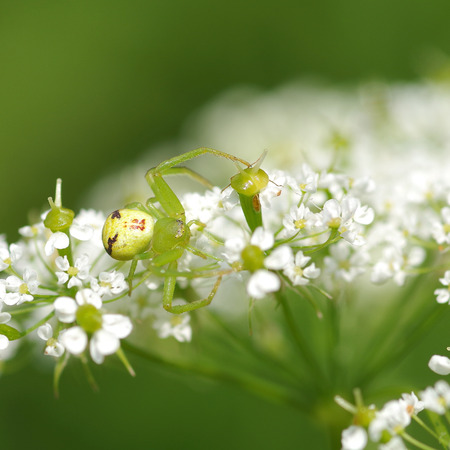 Green spider on a flower in the wind