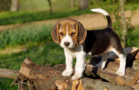 Beautiful beagle puppy on green background