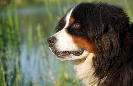 Portrait of Bernese mountain dog on the bank of the pond