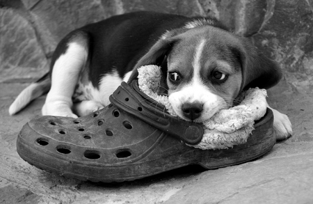 A beagle puppy with a slipper lies on a stone pavement