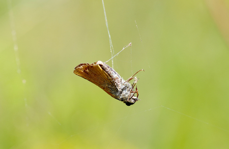 Spider is rolled a butterfly in a spider web