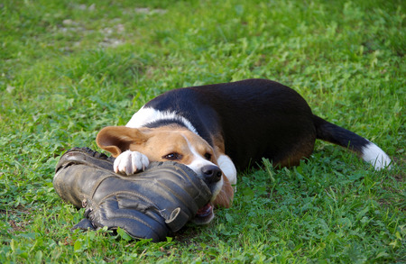 Dog beagle playing with two shoes on a green grass 版權商用圖片 - 85841350