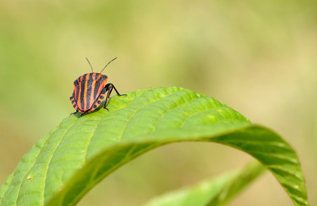 Graphosoma lineatum on leaf close view, from behind