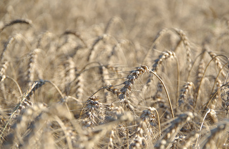 Field full of ripe wheat at the end of the summer