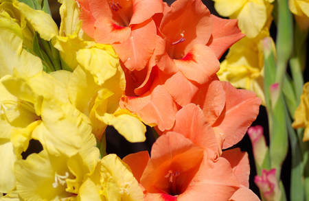 Detail of yellow and orange gladiolus flower