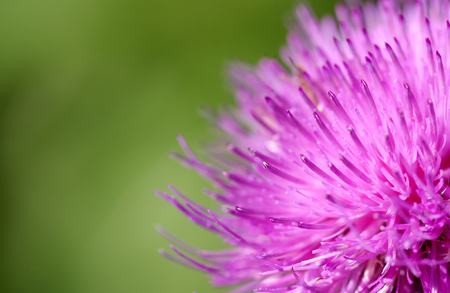Blossomed thistle to pink on green background 스톡 콘텐츠