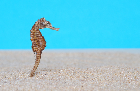 Seahorse in sand and a blue background