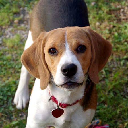Dog beagle looking at camera standing on grass