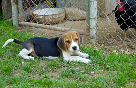 Puppy beagle guards the hens, lies on the grass
