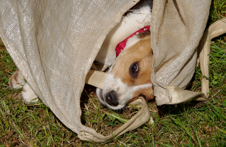 Dog beagle is playing in a bag