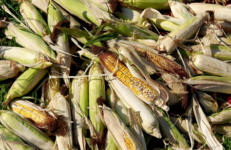 Corn in the husk ready for wildlife