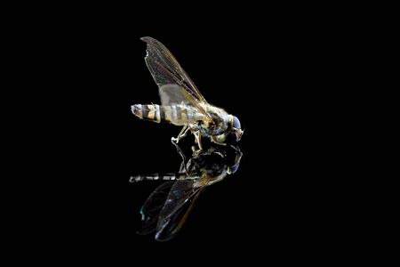 Fly on a black background with reflection