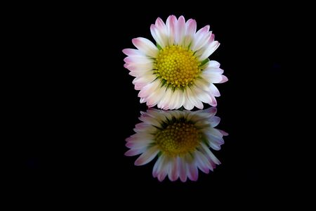 Daisy on black background with reflection