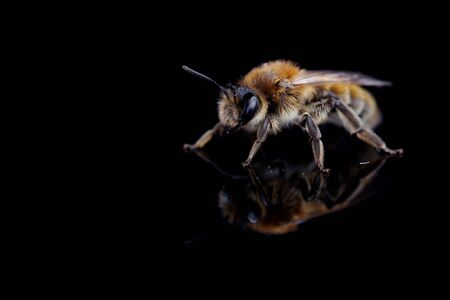 Bee on a black background with reflection