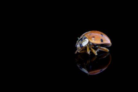 Ladybug on a black background with reflection