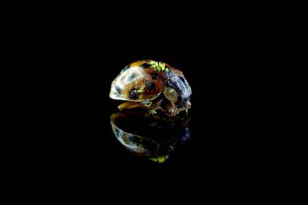 Ugly ladybug on black background with reflection