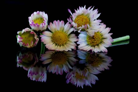 Five daisies on a black background with reflection