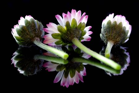 Three daisies on a black background with reflection