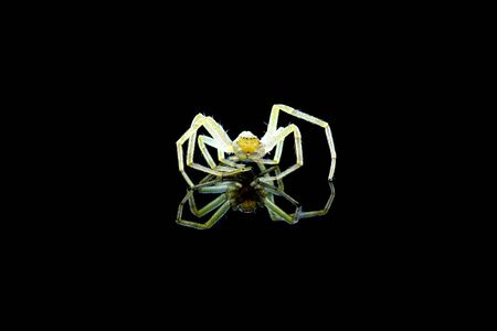 Spider on black background with reflection