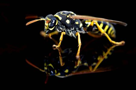 Wasp insect on a black background with reflection