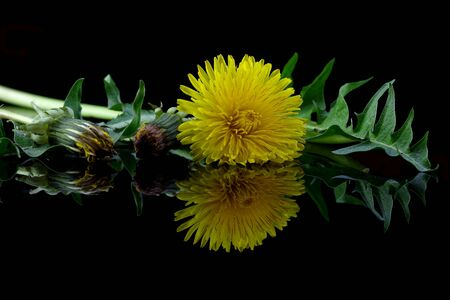 Dandelion on a black background with reflection