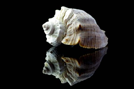 Sea shell on black background with reflection