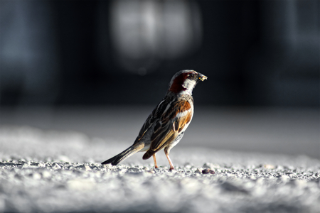 Sparrow on the sidewalk. Sparrow stands on the pavement. Side view. Blurred background. Stock Photo
