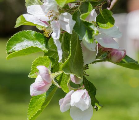 white blossom: White Blossom