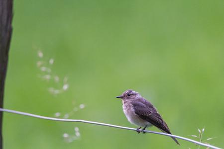 songster: Garden Warbler