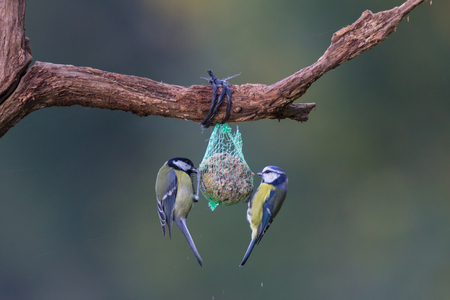 cyanistes: blue tit and great tit