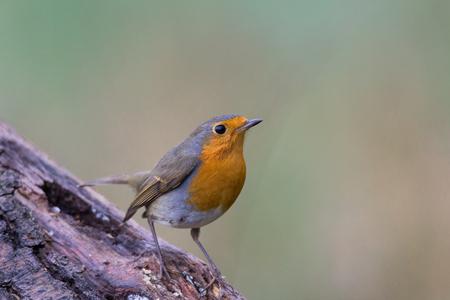 songster: robin redbreast