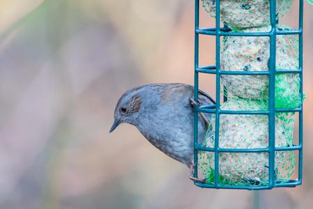 hedge: hedge sparrow Stock Photo