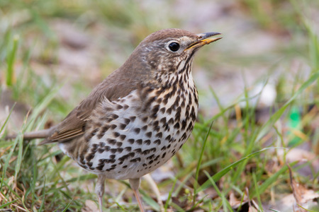 song: Song Thrush