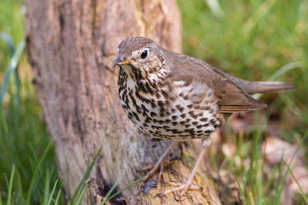 Song Thrush Banque d'images