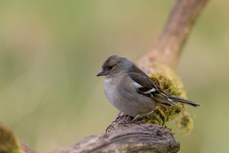 chaffinch: female chaffinch