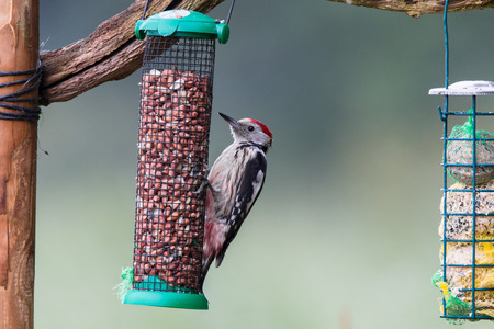spotted: Middle spotted woodpecker