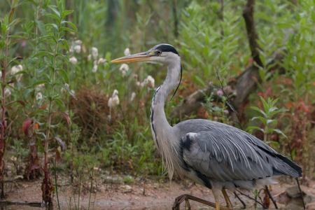 gray herons: gray heron