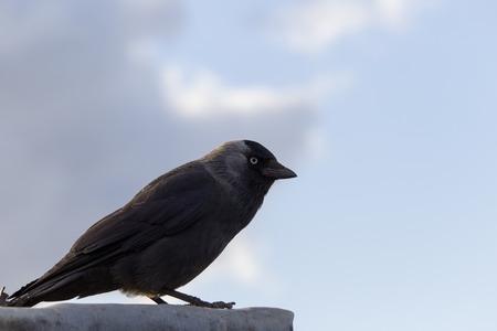 corvus: Western jackdaw