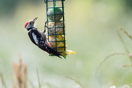 woodpecker: Middle spotted woodpecker