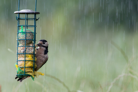 spotted: Great Spotted Woodpecker