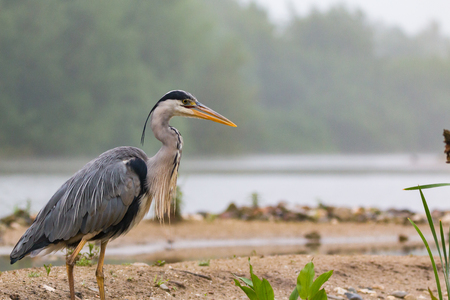 heron: gray heron