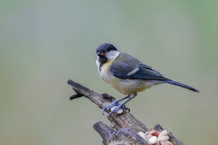 great: great tit Stock Photo