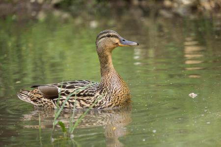 color image mallard duck: duck Stock Photo