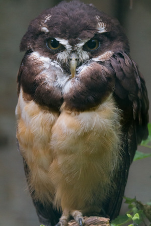 spectacled: Spectacled owl Stock Photo
