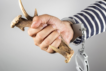 Horn and shackle.Concept of criminal acts and the illegal wildlife trade.