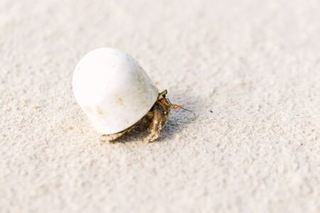 Hermit crabs that use human waste as habitat. Stock Photo