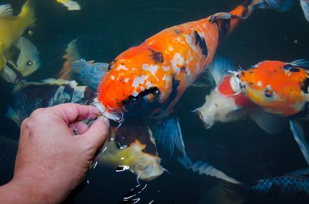 Feeding koi carp by hand photo