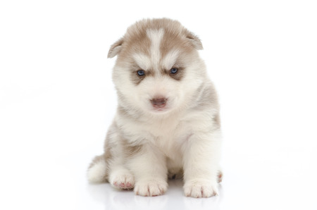 Cute puppy siberian husky  on white