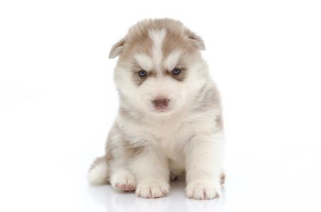 Schattige puppy Siberische husky op wit