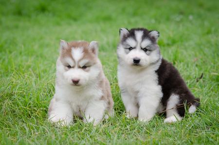 Cute puppies siberian husky sitting on grass photo